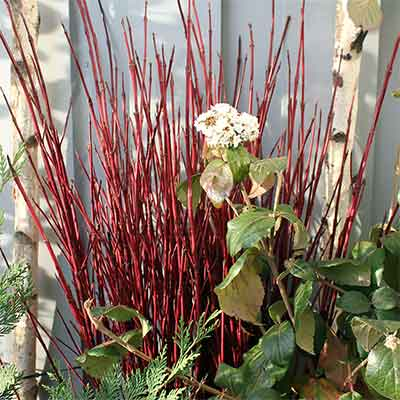 Red Dogwood Branches, 100 Branches, 3-4'