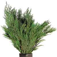 Cedar Branches, Preserved, 24 Bundles