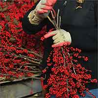 Winterberry Branches, 10 Bunches, 12-16""