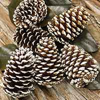 White Tipped Bulk Pinecones 5 Bushels