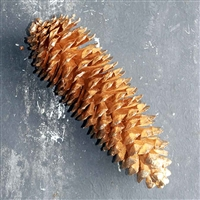 12 Goldleaf Sugar Pine Cones, 10-12""