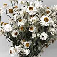Dried Ammobium, 20 Bunches