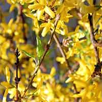 Forsythia Branches, 50 Stems, 3-4'