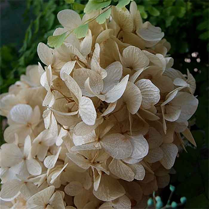 preserved hydrangeas natural 12 bunches