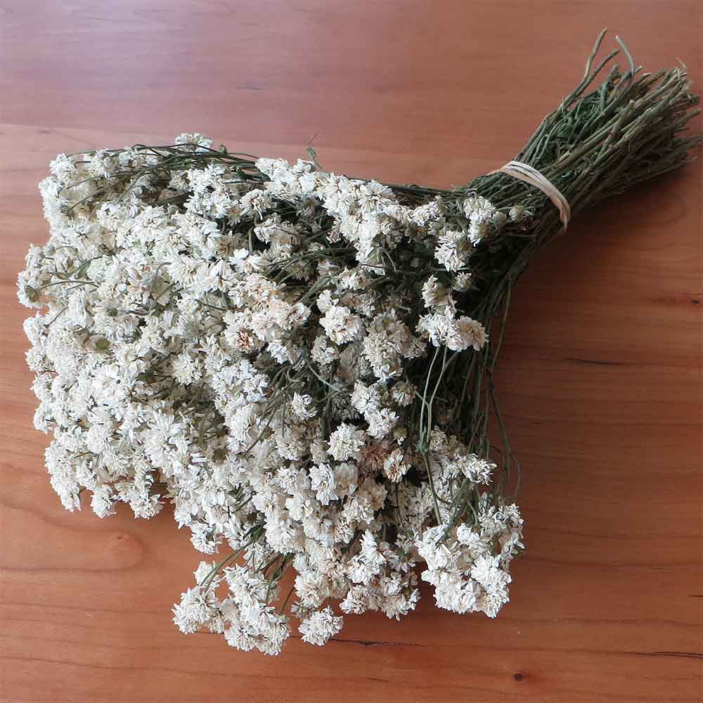 Dried Achillea The Pearl 30 Bunches
