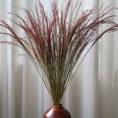 Red Silk Grass, 40 Bunches