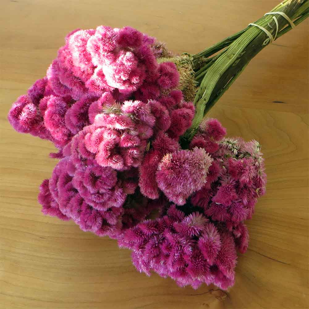 Pink Dried Cockscomb 15 Bunches