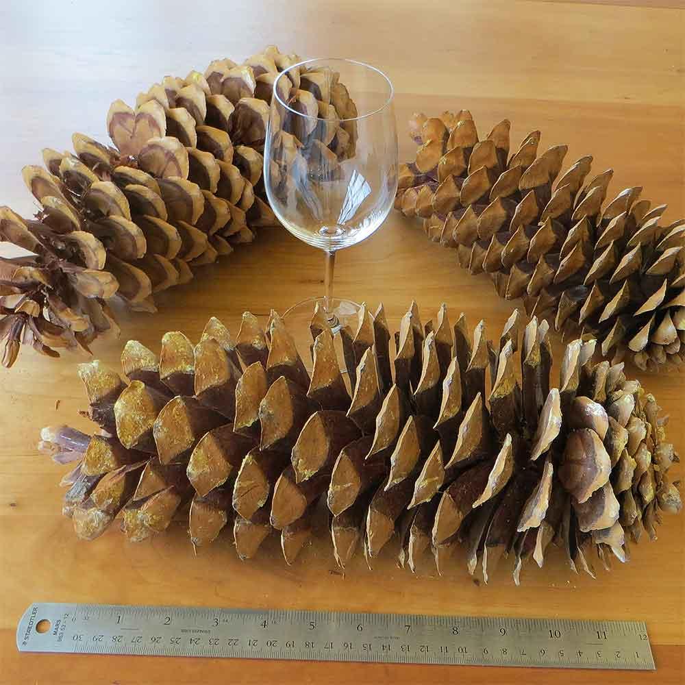Sugar pine cones 10 cones 10 17 for Long pine cones