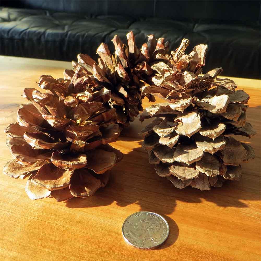 """Ponderosa Pinecones, 250 Cones, 2-4"""""""